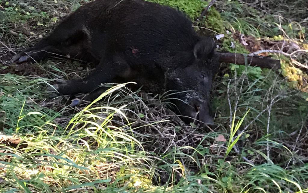 Ucciso un cinghiale a La Piana - Brusio