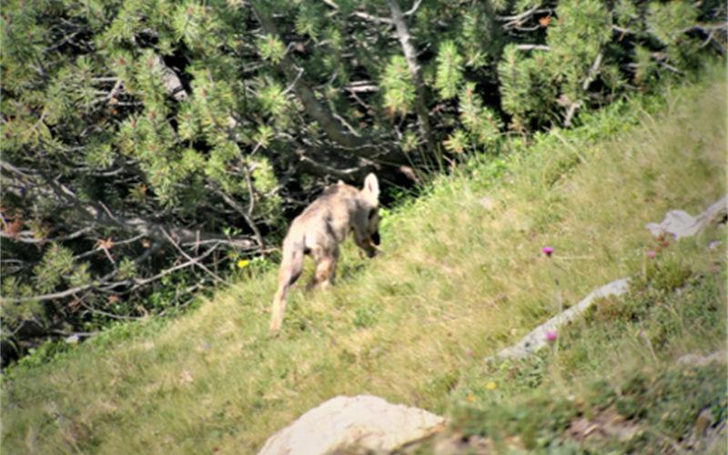 Nuovo branco di lupi nei Grigioni