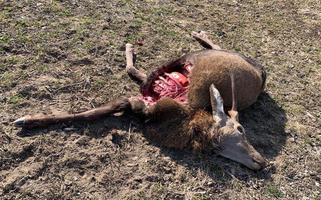 Possibile presenza del lupo in Valposchiavo