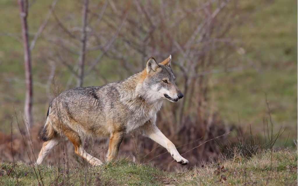 Sentieri chiusi per la presenza dei lupi