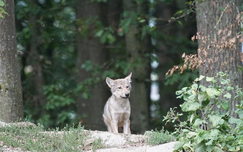 Tre giovani lupi saranno abbattuti