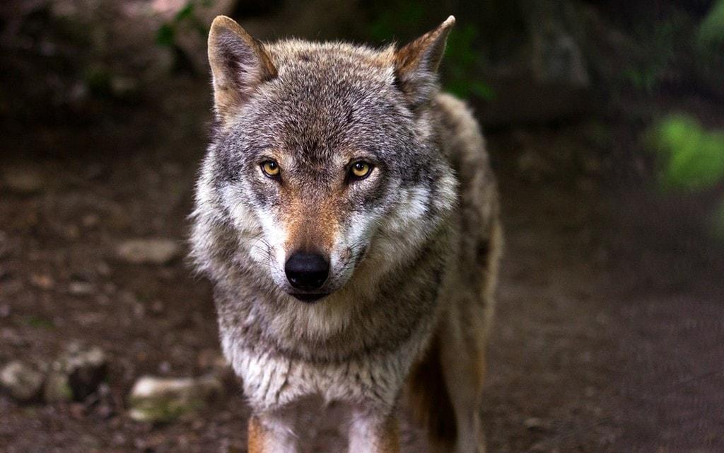 Confermata la presenza del lupo in Valposchiavo