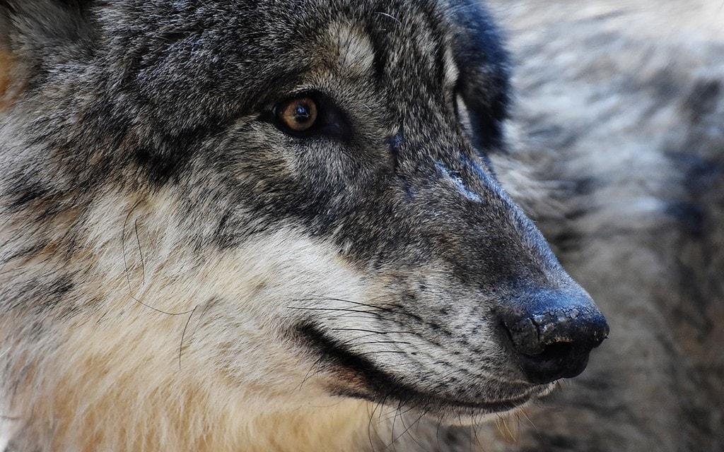 Il Canton Grigioni vuole abbattere dei lupi