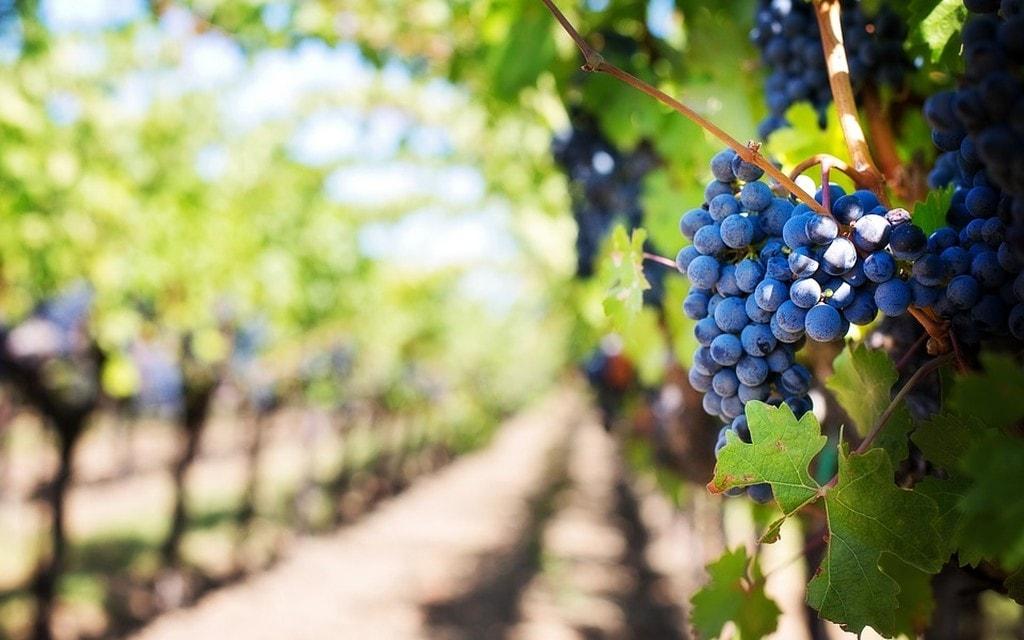 Sostegno straordinario per la viticoltura svizzera