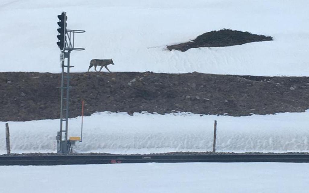 Avvistato un lupo a Bernina Suot
