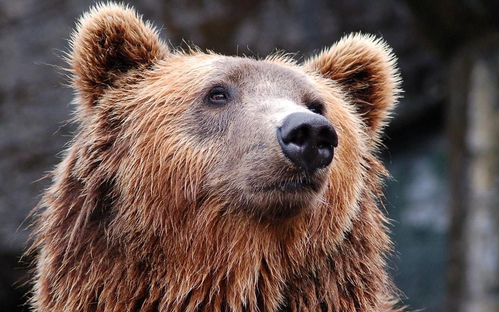 Ufficio Per Le Zone Di Confine : Ancora orsi in zone di confine il grigione italiano